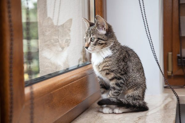A gray cat looking out a window. Photography by Shutterstock.