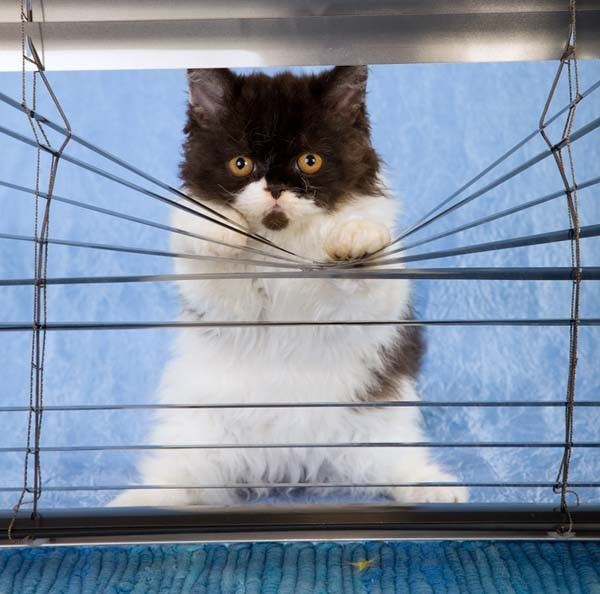 Some cats rattle the blinds to wake their owners
