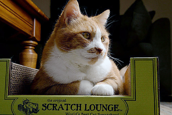 An orange and white cat sitting in a Scratch Lounge.