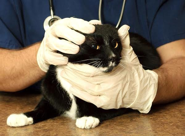 Cat being examined at a veterinarian clinic. Photo by Shutterstock