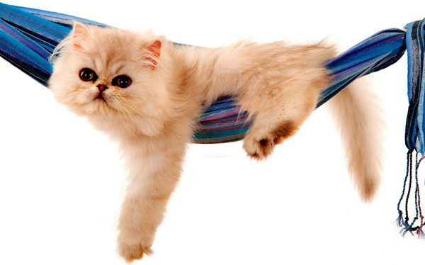 A cat relaxes on a hammock in summer.
