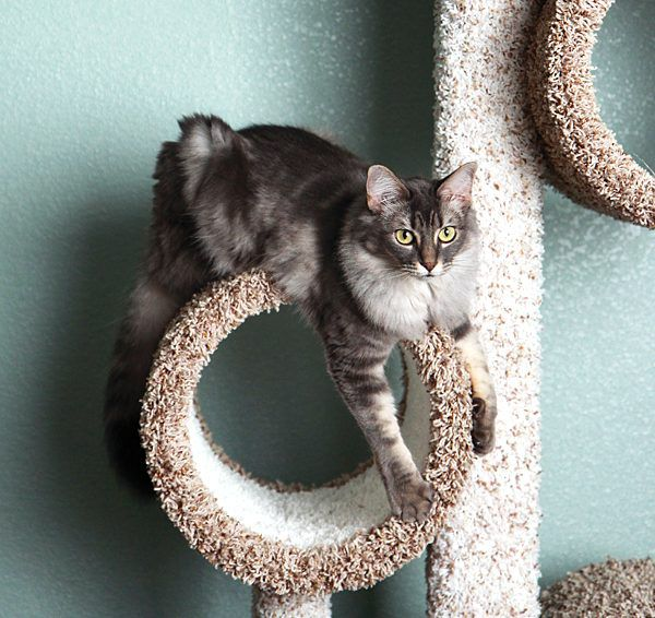 Tabby cat playing in cat tree