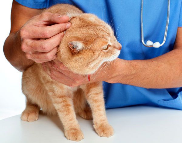 Cat being examined by a vet. Photo by Shutterstock