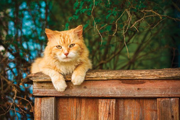 outdoor-cats-ginger-fence-141259876
