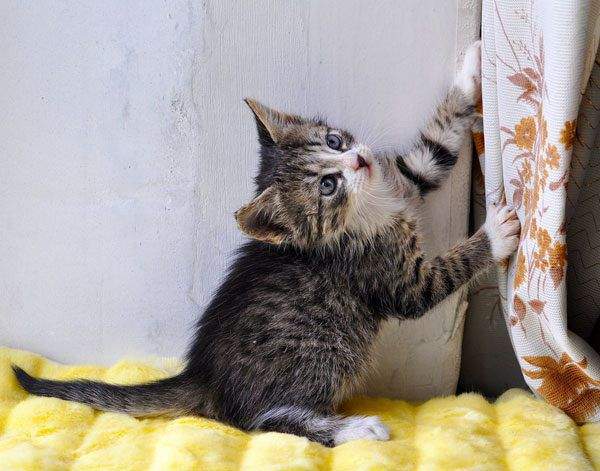 Help keep kittens safe. Secure curtain cords and pulls.