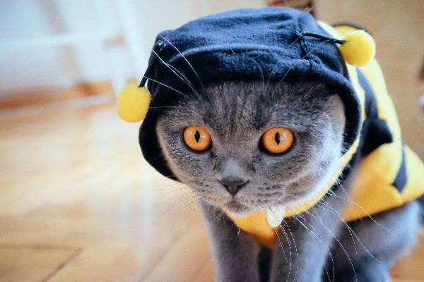 Cat dressed as a bee.