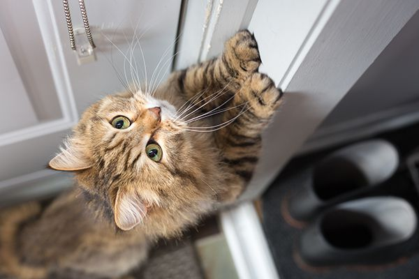 A cat scratching at a door, trying to escape.