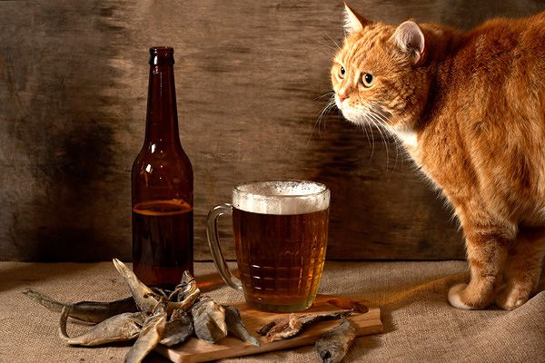 An orange cat looking at beer and fish.