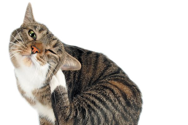 A tabby cat scratching his ears.