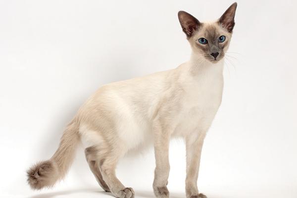 A Balinese cat.