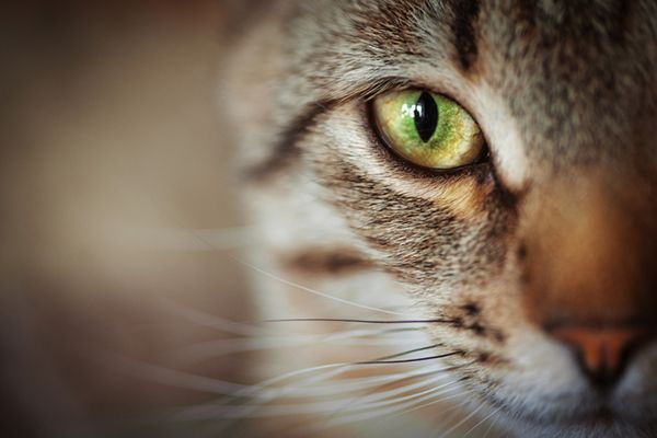 Closeup of a brown tabby cat's whiskers.