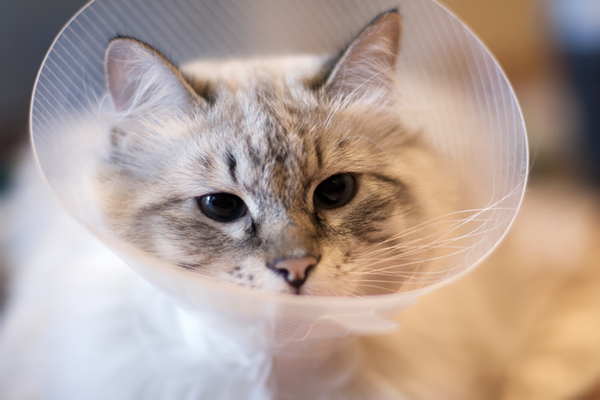 A cat wearing a cone of shame.