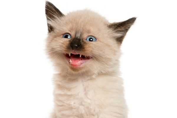 A kitten panting with his mouth open.
