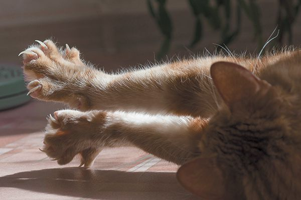 An orange tabby cat with claws out, arms outstretched.