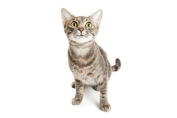 A brown tabby cat looking up.