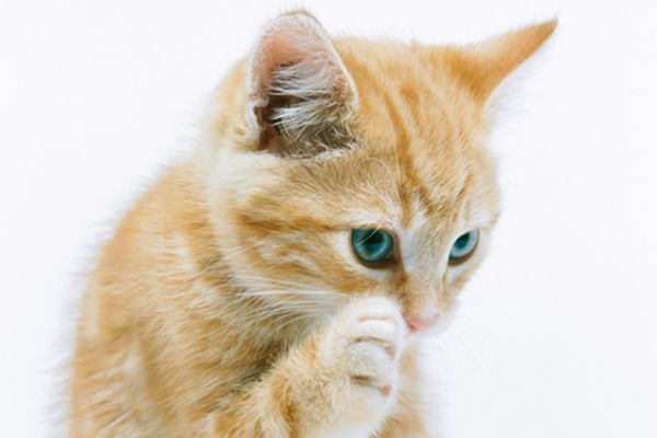 An orange tabby cat itching.