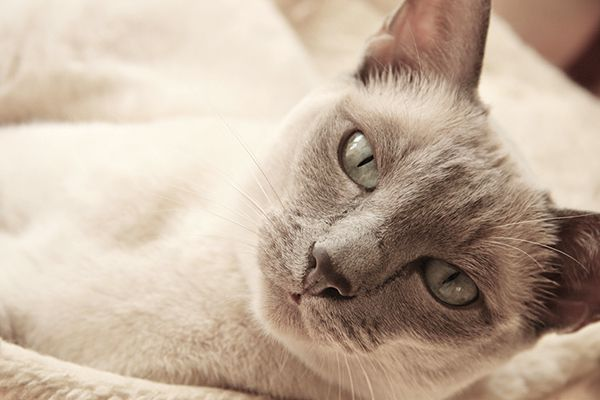 A Tonkinese cat.