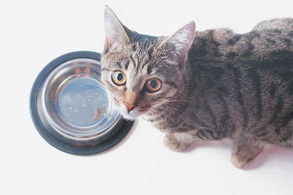 A gray cat looking up from his food bowl.