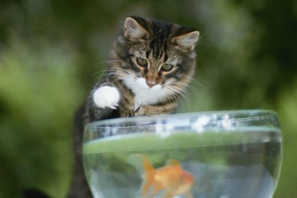 A cat putting his paw in a goldfish bowl.