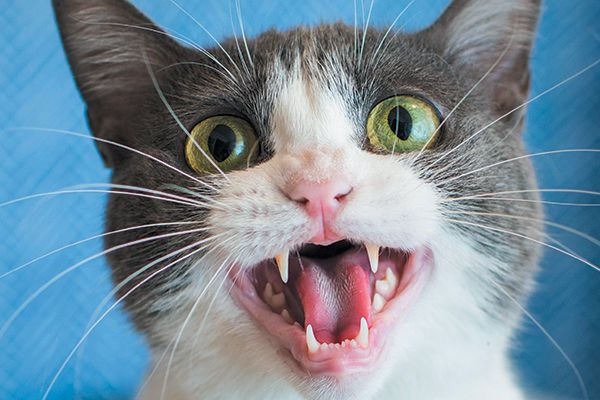 A gray cat meowing with his mouth open.