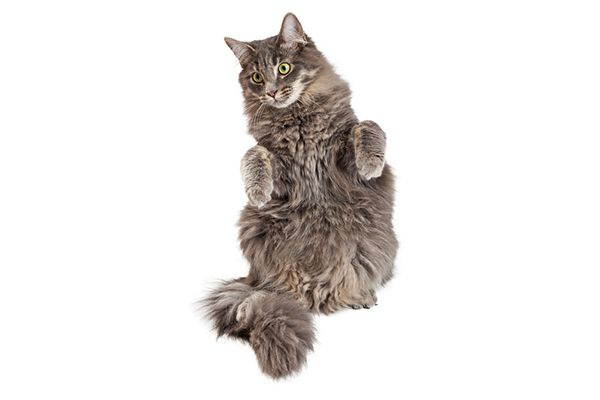 A gray cat standing on his hind legs.
