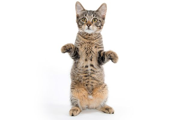 A cat standing on his hind legs.
