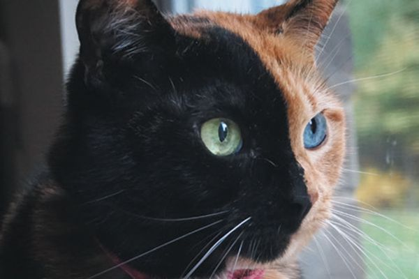 Venus the Two-faced Cat.