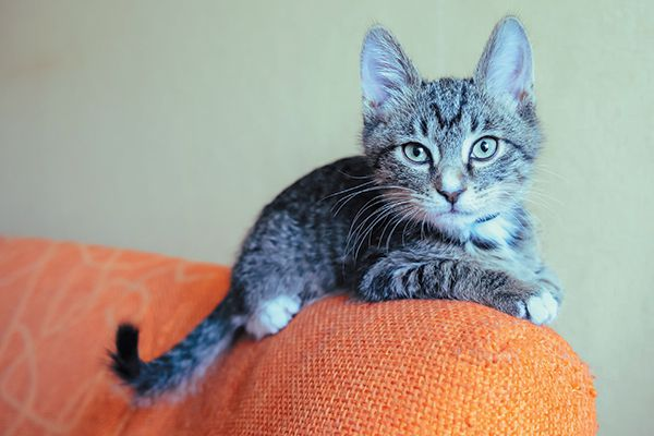 A gray cat on the edge of an orange couch.