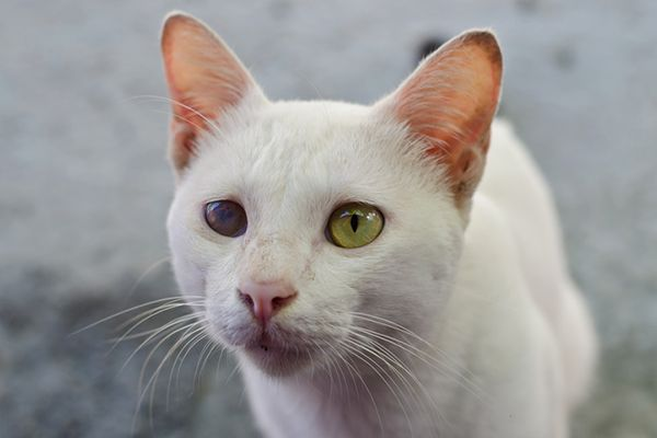 A white cat with cataracts.