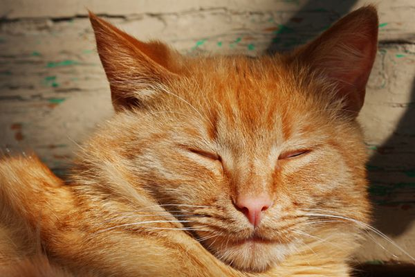 An orange tabby cat with his eyes closed or eyes blinking.
