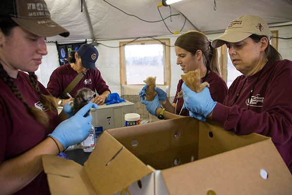 A group of VET members, including veterinary technician Megan Hackman, Dr. Laurie Shelton, fourth-year veterinary student Alex Hawthorn, and Dr. Jacqueline Davidson examine kittens during intake at the Fort Bend County Fairgrounds.