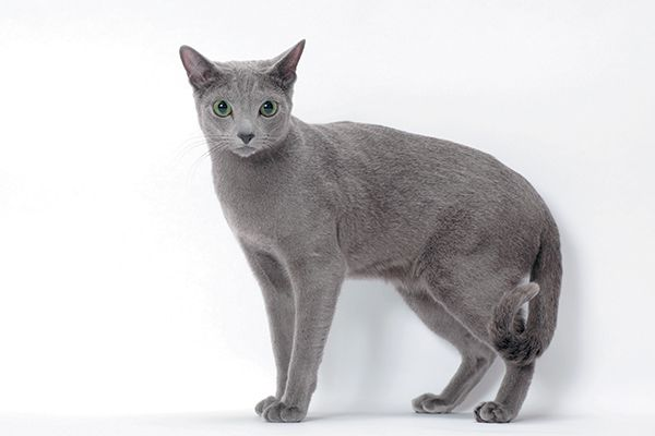A Russian Blue cat with his tail curled slightly.