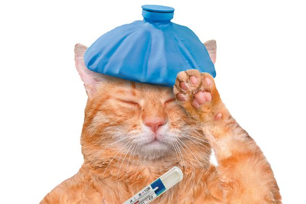 A sick cat with a thermometer.