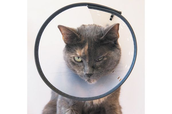 A clear plastic E-Collar for cats.