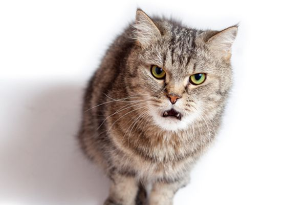 A brown cat growling, hissing or looking angry.