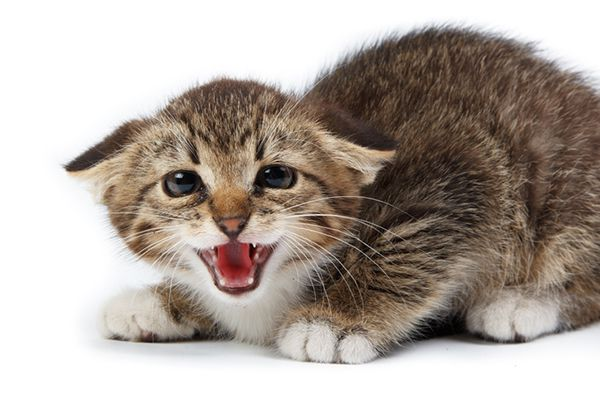 A kitten hissing with his ears flattened back.