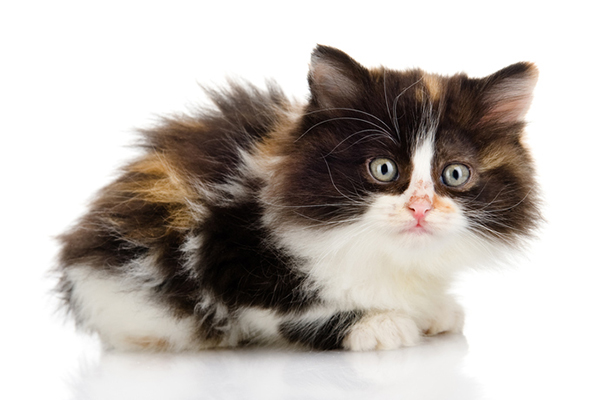 A small, scared calico kitten.