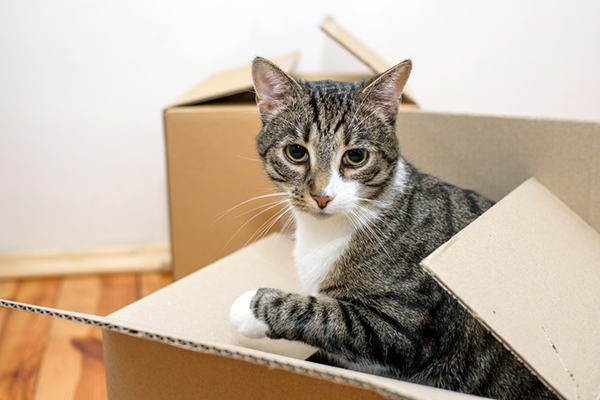 An older gray tabby jumping out of a box.