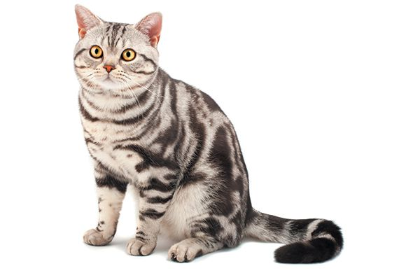 A classic or blotched tabby cat.
