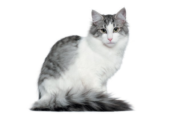 A gray and white Norwegian Forest Cat.