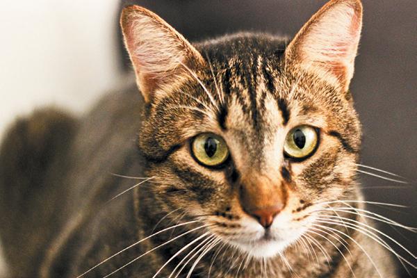 The mackerel tabby cat.