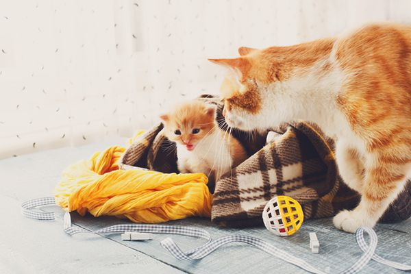 A baby kitten and a mother cat.