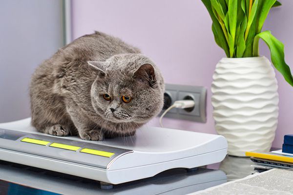 A gray cat on a vet scale.