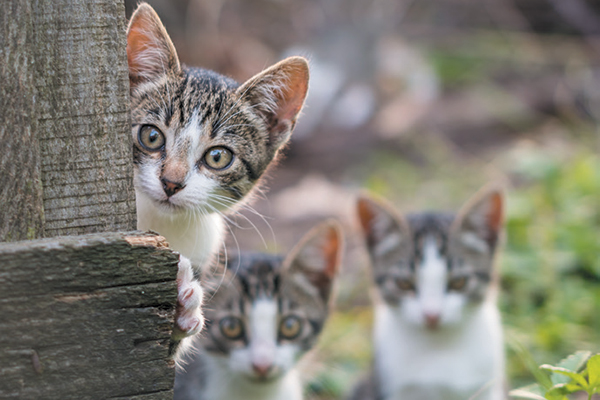 Feral cats peeking out from behind a fence.