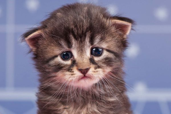 A sad young brown tabby kitten.