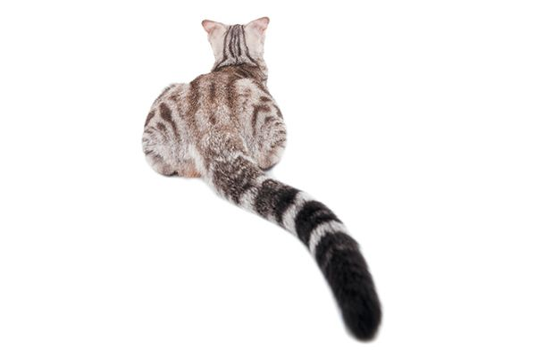 a gray cat's tail on a white background
