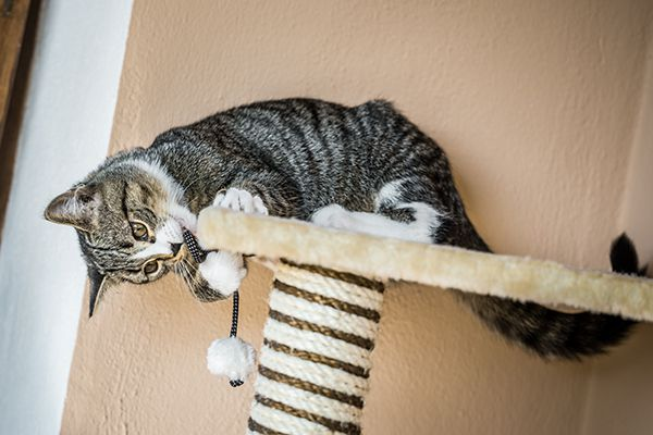 A cat playing with his scratching post.