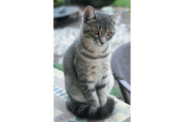 A cat with a curved tail underneath.