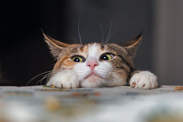 A curious cat peering out over a table.