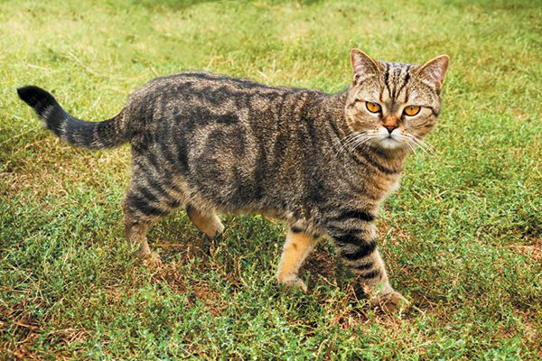 A feral or outdoor cat.